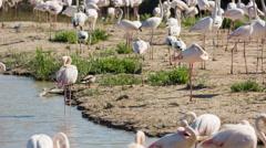 Flamingo bird nature wilflife reserve carmargue lagoon Stock Footage