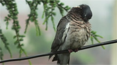 Wild Pigeon Standing on the Wire on a Rainy Day Stock Footage