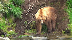 Stock Video Footage of Brown Bear at Edge of salmon stream