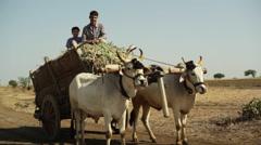 Village farmer man and boy on bull cow cart, medium side shot - stock footage