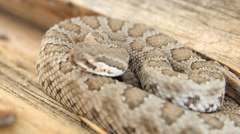 Stock Video Footage of A great basin rattlesnake resting coiled on log