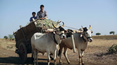 Village farmer man and boy on bull cow cart, medium side shot Stock Footage