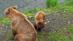 High Angle Shot of Brown Bear Sow and Her Cub Bothered by Mosquitoes Stock Footage