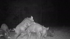 Hogs Misbehaving, Wild Boar (Sus scrofa) or feral hogs Stock Footage