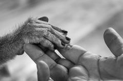 View of Human palm holding a small monkey hand - stock photo