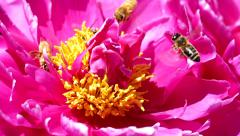 Many Honey Bees Collecting Pollen on Peonies Flower, Slow Motion Stock Footage