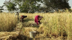 Man and woman harvest wheat, India, long shot, shallow DOF Stock Footage