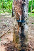 White latex extracted from a rubber tree - stock photo
