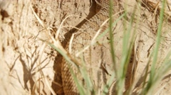 Stock Video Footage of Great Basin rattlesnake slithering in the desert