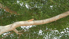Lizards on tree - stock footage