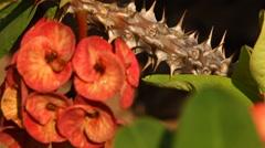 Macro succulent thorns Stock Footage