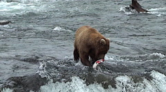 Brown Bear on Top of Falls Eating a Salmon Stock Footage