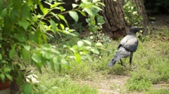 Crow under the Tree Stock Footage