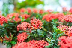 Ixora small flower in sun light  . Stock Photos