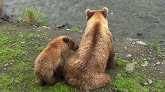 Brown Bear Cub, Sow Side by Side on River Bank Stock Footage