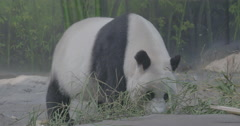 Giant Panda (8 months) - Ailuropoda melanoleuca Stock Footage