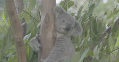 koala in a tree Stock Footage