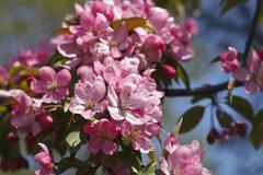Bright pink flowering tree Stock Photos