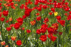 field of red tulips beautiful - stock photo