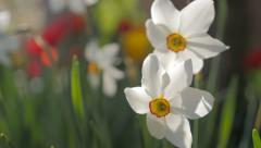 Colorful garden with Narcissus poeticus flower pair slow moving on the wind 4 Stock Footage