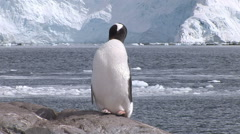 Gentoo penguin preens itself Stock Footage