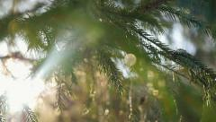 Slow motion of fir branches on magic sun background in winter with lense flare Stock Footage