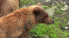 Zoom Out on Brown Bear Cub and Sow Stock Footage