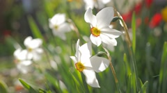 Colorful garden with Narcissus poeticus flower slow moving on the wind 4K 216 Stock Footage