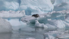 Young Southern Fur Seal sleeps on an iceberg - stock footage