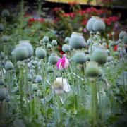 Closeup of flower opium poppy - stock photo