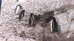 A Brown Skua attacks Gentoo Penguins Stock Footage