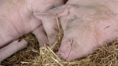 Group of Domesticated Farm Pigs Sleeping in Farm Barn Hay Stock Footage