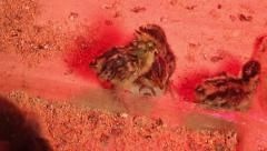 Newly hatched 4 youngling quail - stock footage