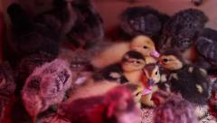 Newly hatched 6 group duckling Stock Footage