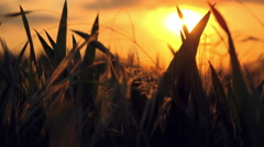Wheat Heads in Cultivated Agricultural Field in Sunset Stock Footage