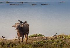 Portrait of domestic buffalo in Nepal - stock photo