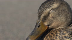 Tired Female Mallard Duck Close-up Stock Footage