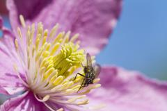 Clematis with a Fly Stock Photos
