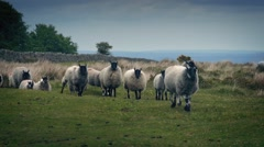 Flock Of Sheep Walking On The Moor Stock Footage