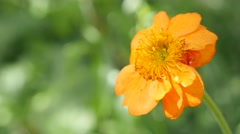 Calendula officinalis Common Marigold flower shallow DOF 4K 2160p UltraHD foo Stock Footage