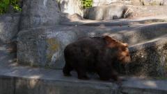 Bear walking near the rocks. Stock Footage