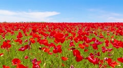 Meadow of red poppies against blue sky with clouds Stock Footage