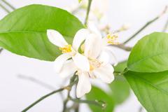 Flower bud of a lemon Stock Photos
