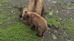 Brown Bear Sow, Cub Sitting on a riverbank of a salmon stream -  Zoom Stock Footage