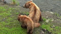 Stock Video Footage of Brown Bear Sow, Cub Interaction Along Riverbank