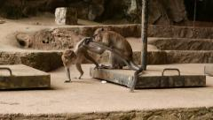 Macaque trying checking to mate female monkey Stock Footage