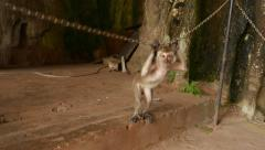 Curious monkey aggressive grin behind chained enclosure Stock Footage