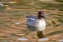 Teal Duck - stock photo