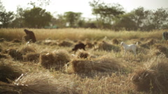 Goats and farmers in a wheat field, India, long shot, shallow DOF Stock Footage