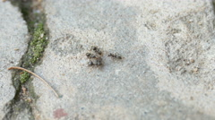 Ants dragging a dead ant Stock Footage